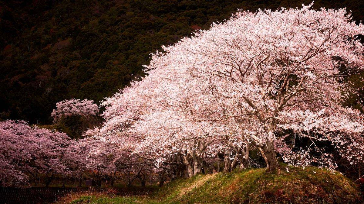 Картинки с цветущей сакурой на рабочий стол