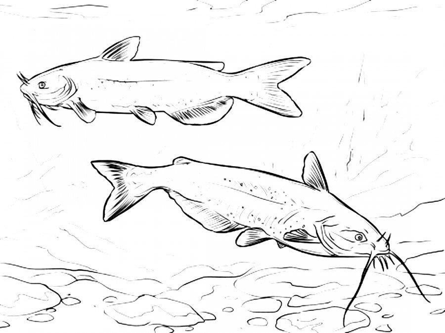 особи, рыба сом картинки карандашом островное, между