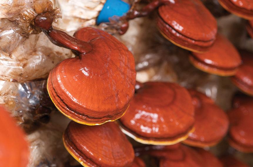 грибы ганодерма для похудения