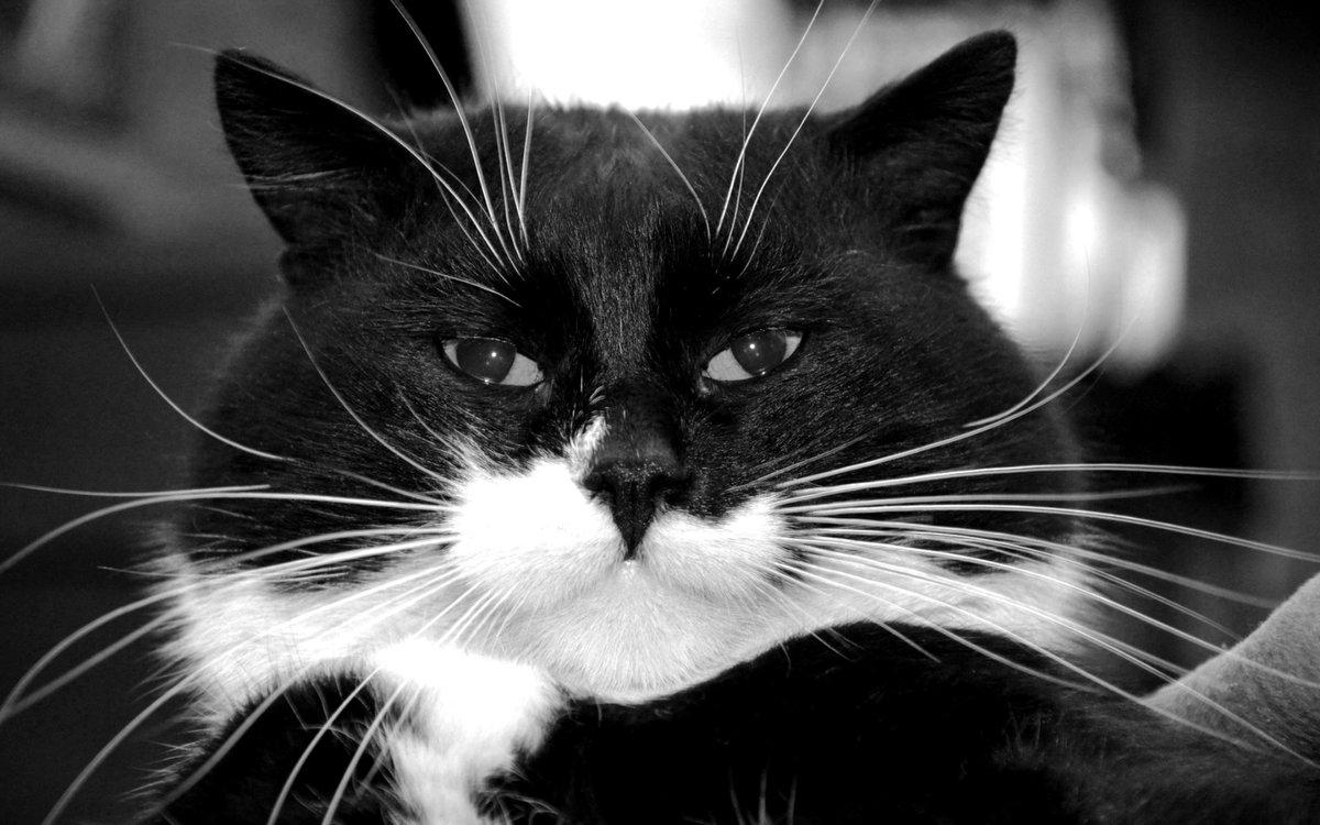 черно белые рисунки кошки фото как