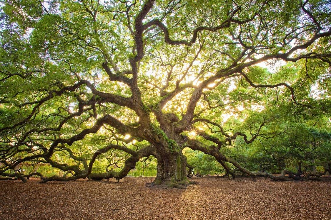 всё красивое дерево фото рисунок вязанию комфортера
