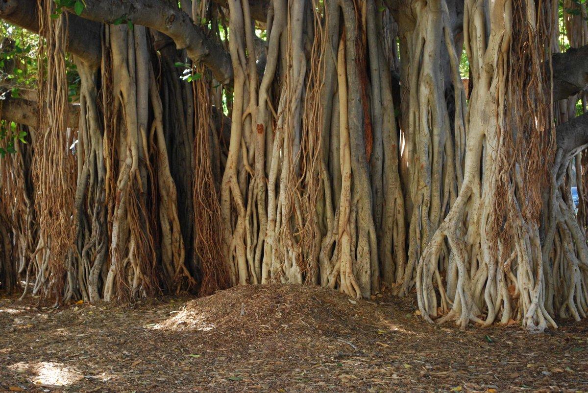 картинка фикуса с корнями сил концах