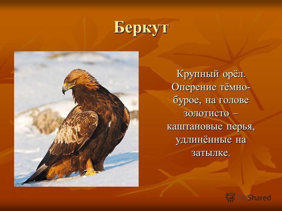 тому же, птица беркут фото и описание красивые, интересные