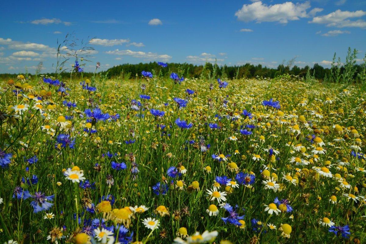 Полевые цветы рязанской области фото