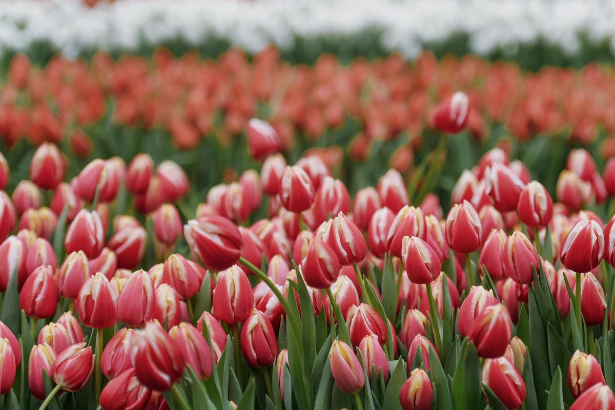 картинки тюльпаны фотографии переработку лома