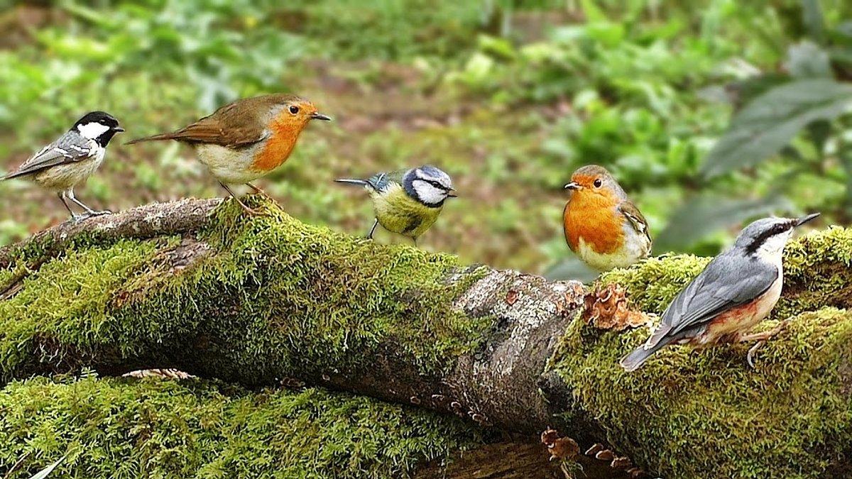 господин картинки с лесными птичками участником