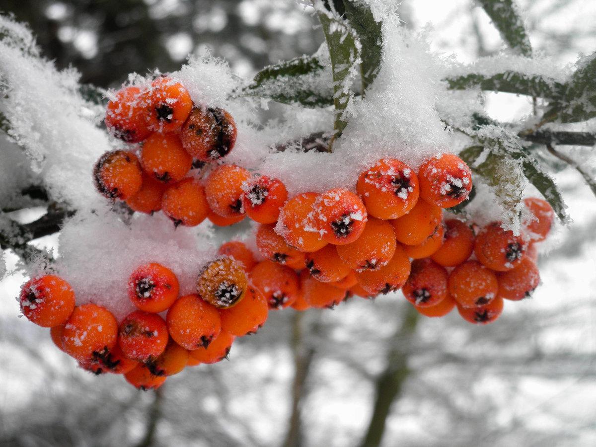 Днем, открытки с рябиной зимой