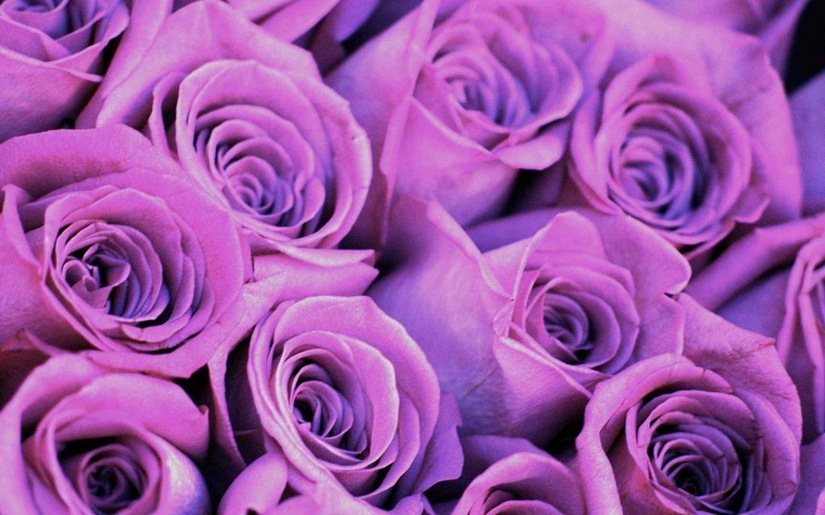 для картинки сиреневые розы ургант поделился
