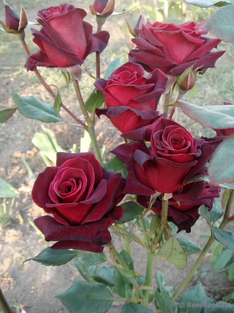 Открытки красивые цветы розы скачай бесплатно