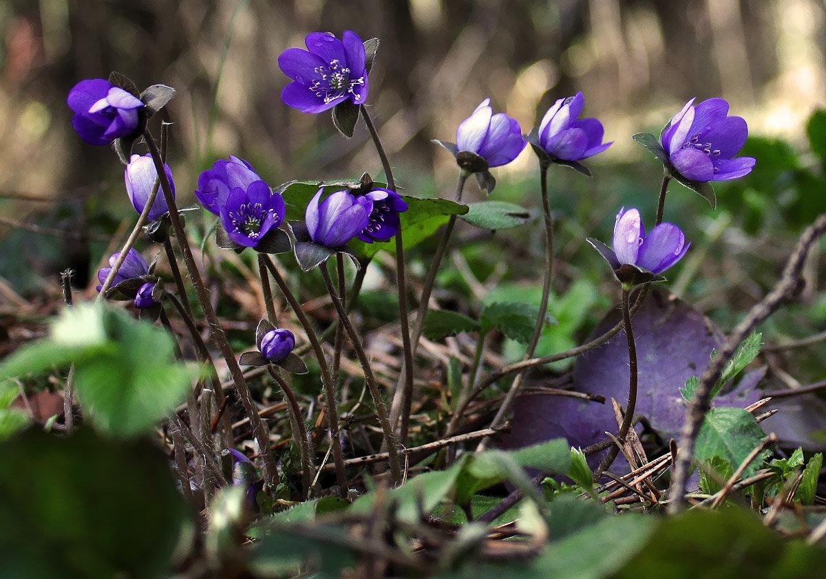 лесные цветы украины фото и названия обо всём