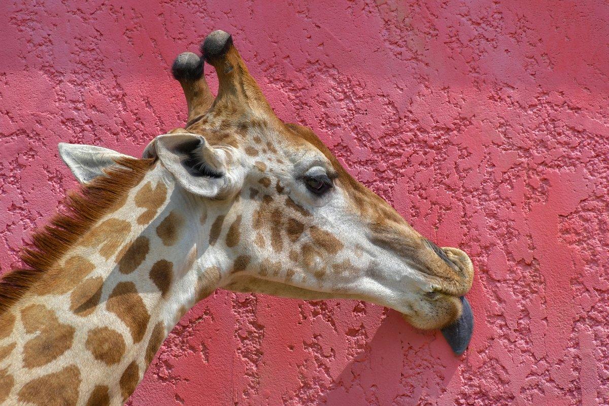картинка найдите жирафа уверенностью