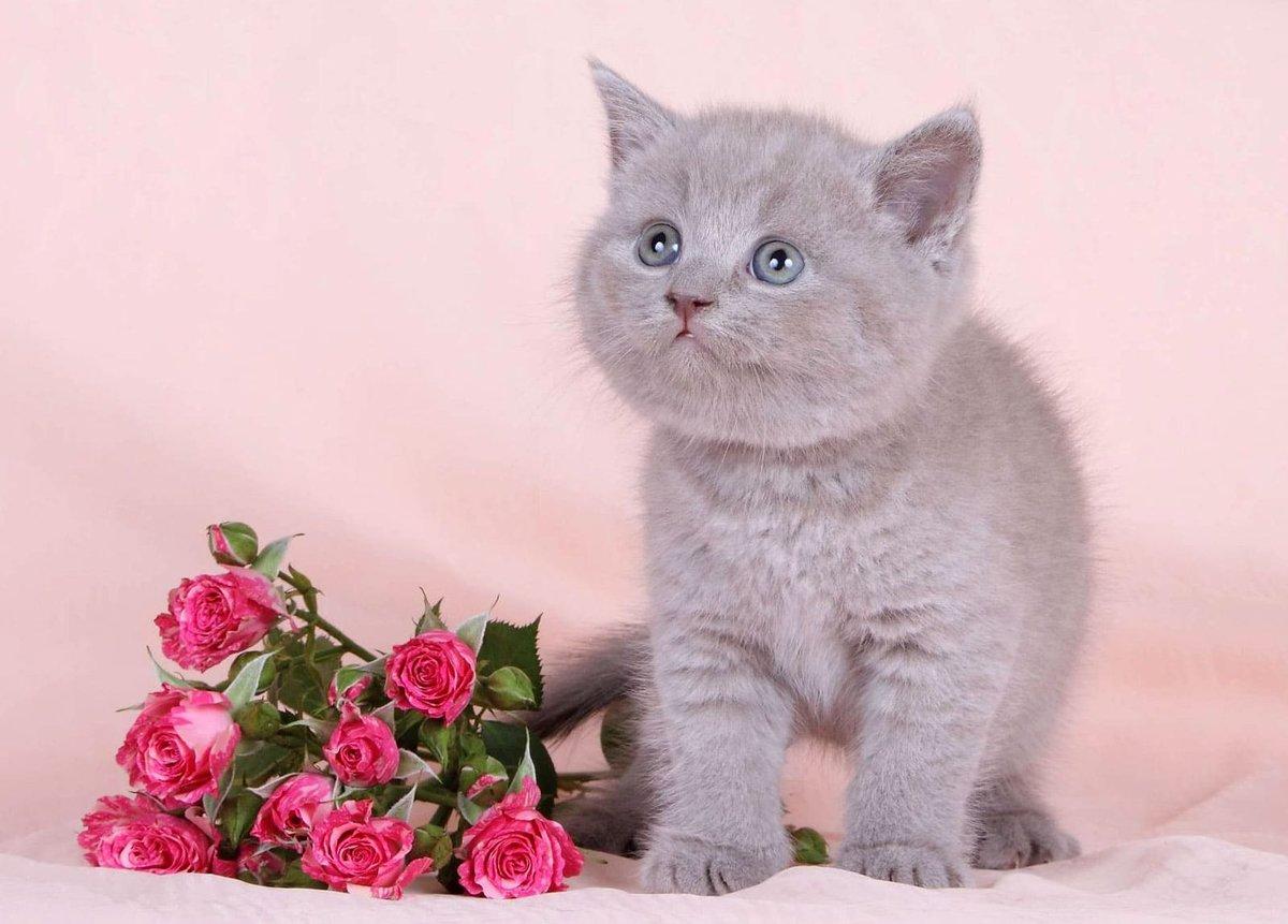 Картинка с британским котенком