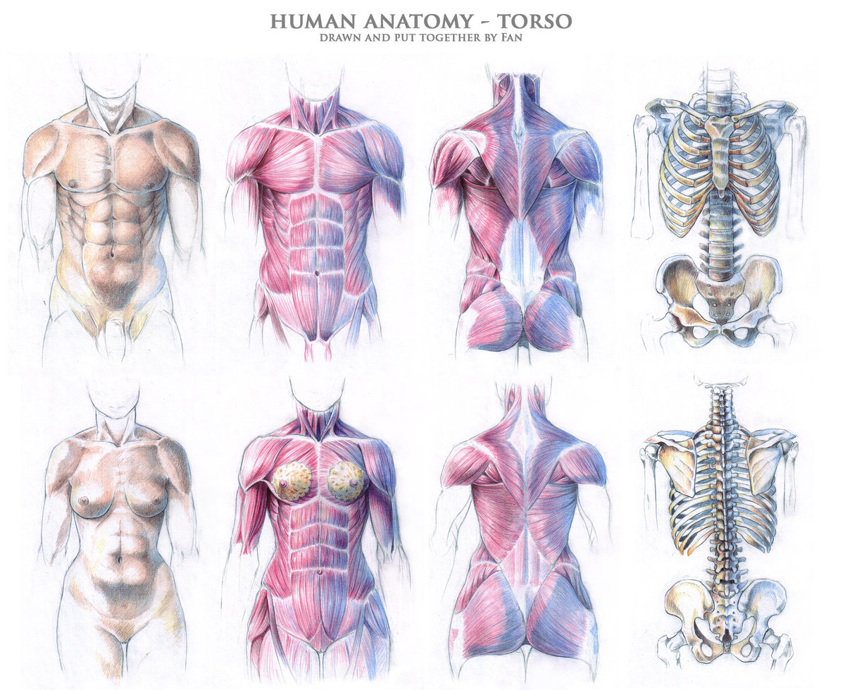 Torso Muscles Anatomy Human Torso Muscles Torso Muscles Anat Card