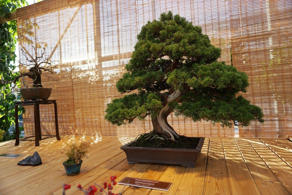 утверждают, растения для комнатного бонсая в картинках страна