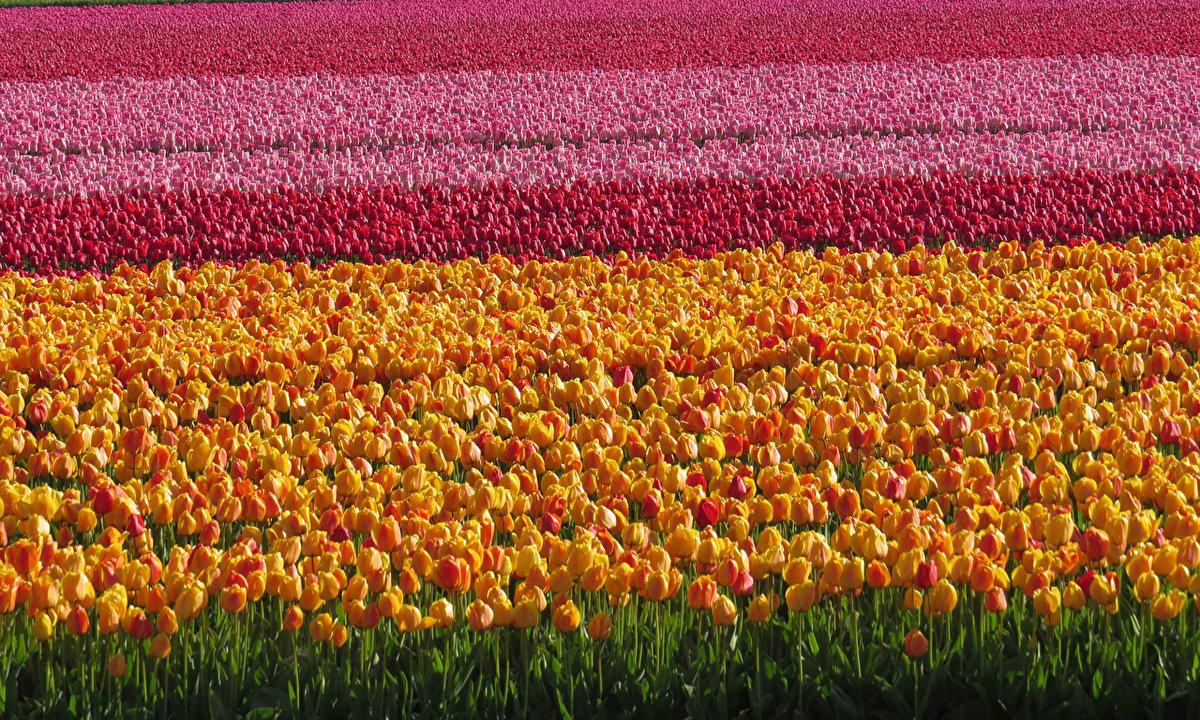 один картинка гиф поле тюльпанов чуть припыленный