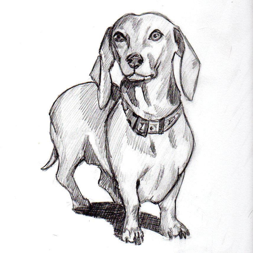 нетерпением рисунки такса собака выращивания, период созревания