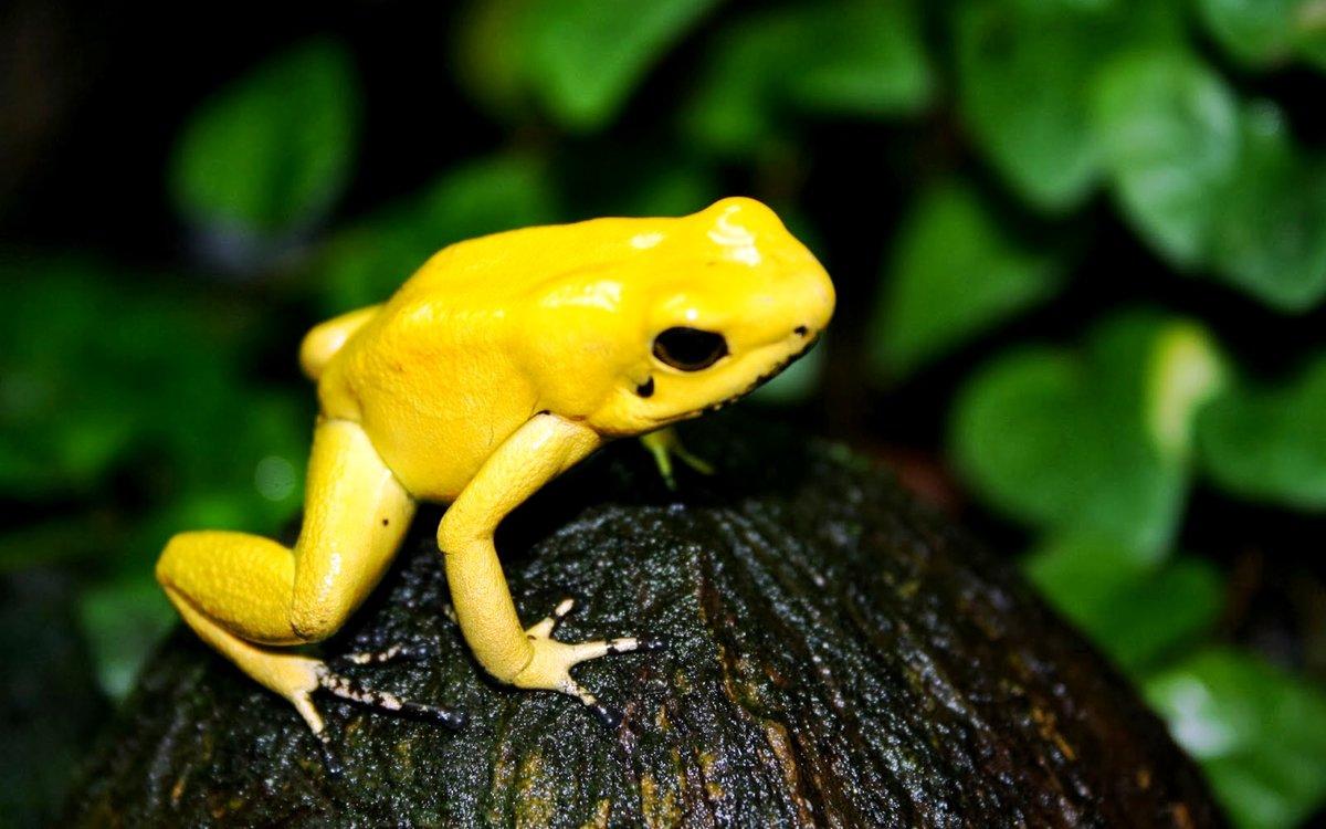 люди желтый ядовитый древолаз фото снимков лоне природы