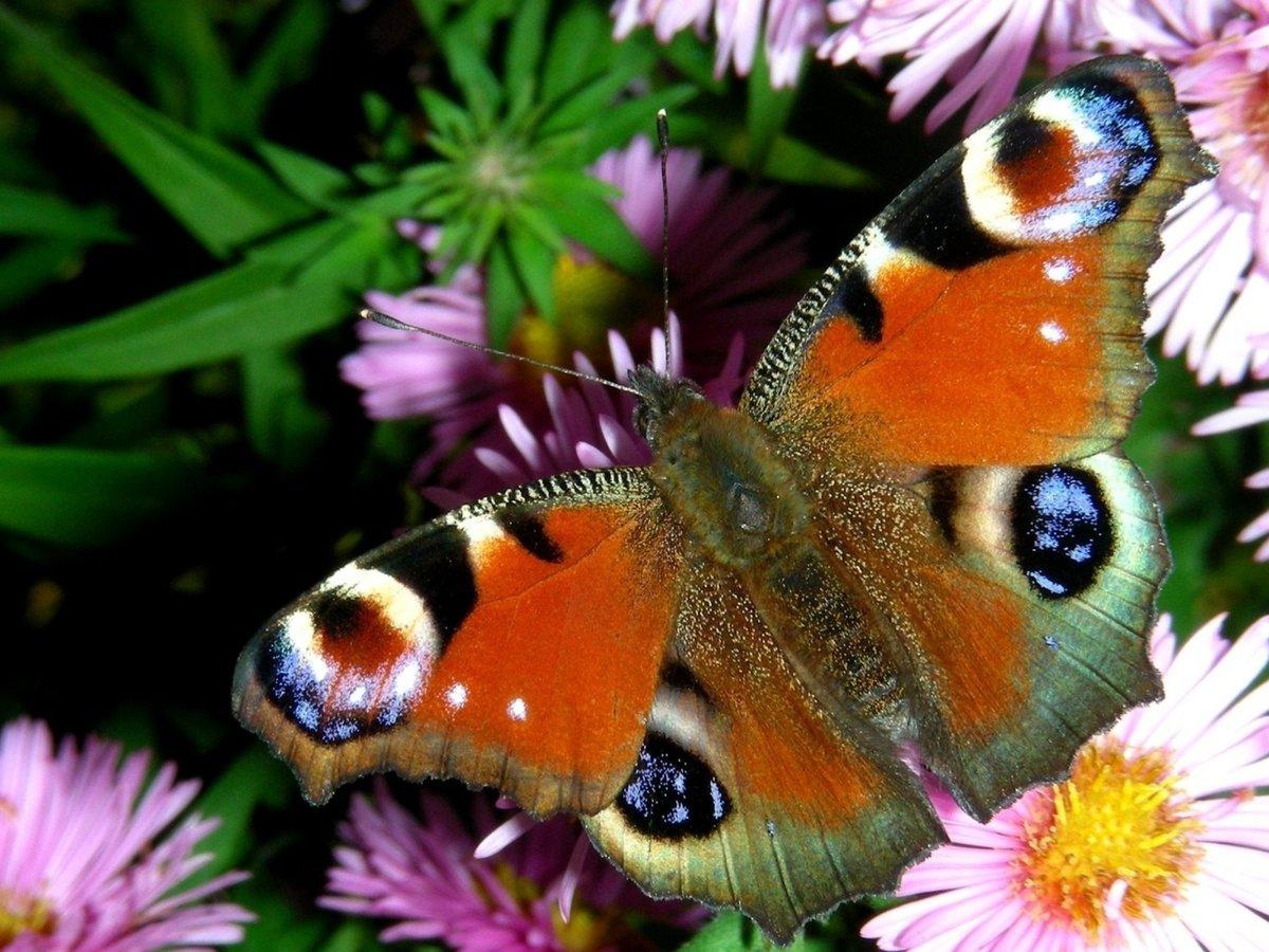 Картинки бабочек на цветах на рабочий стол