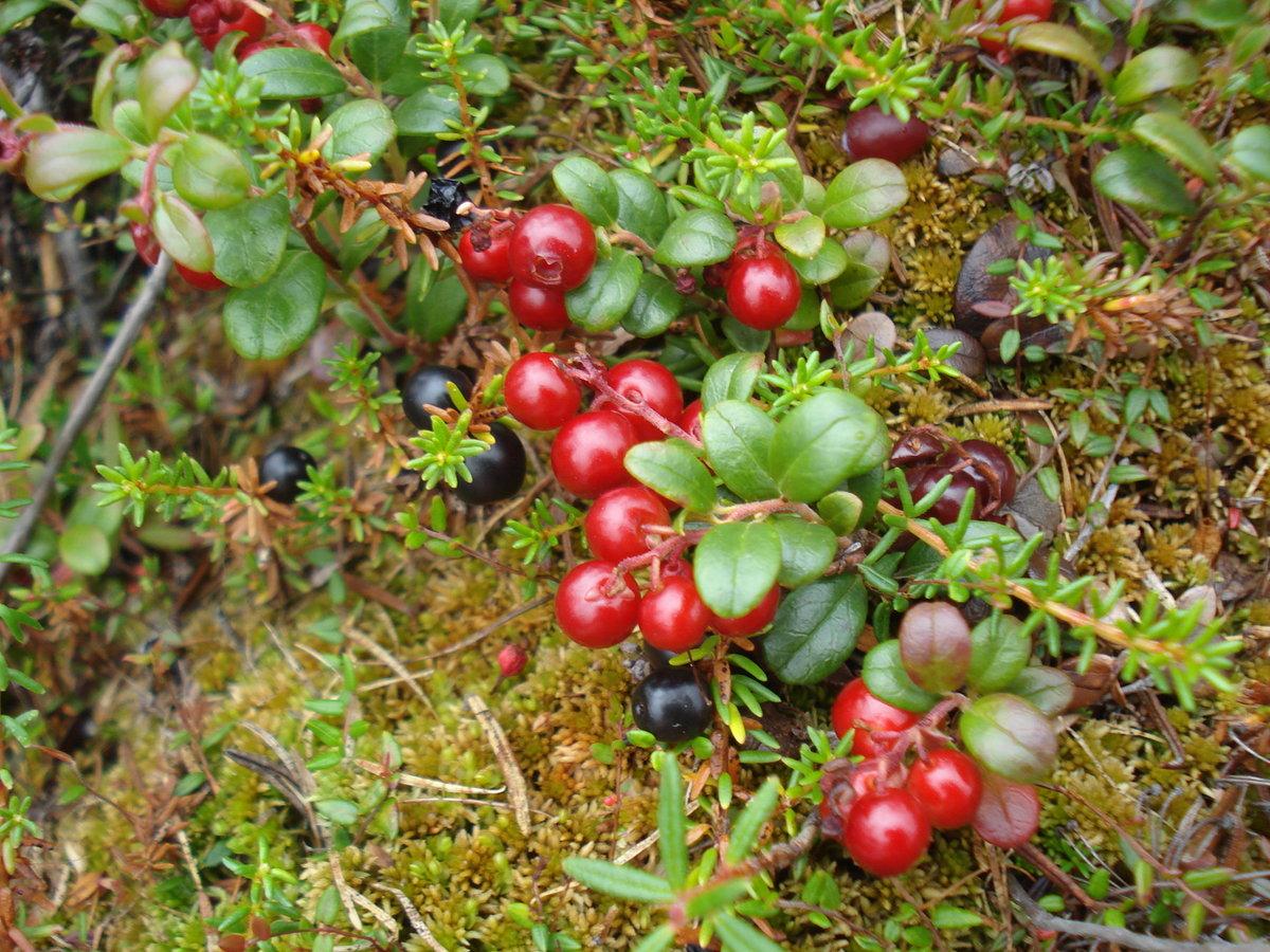 ягоды в тундре с картинками макияж пудрой