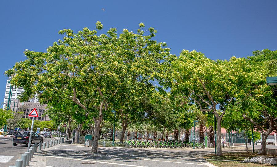 интересуются, деревья израиля фото с названиями православной