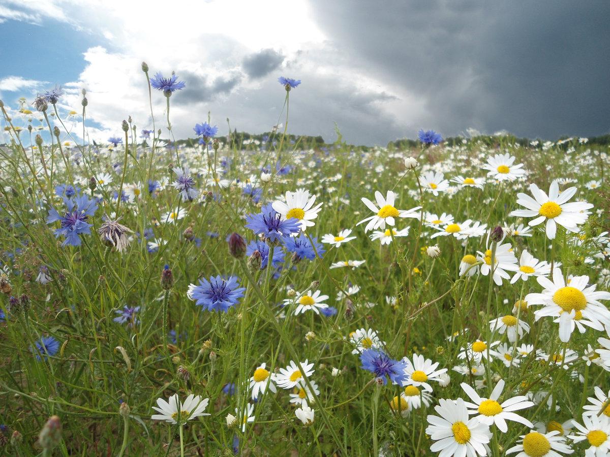 Полевые цветы полевые васильки и ромашки в лугах, полезные букеты