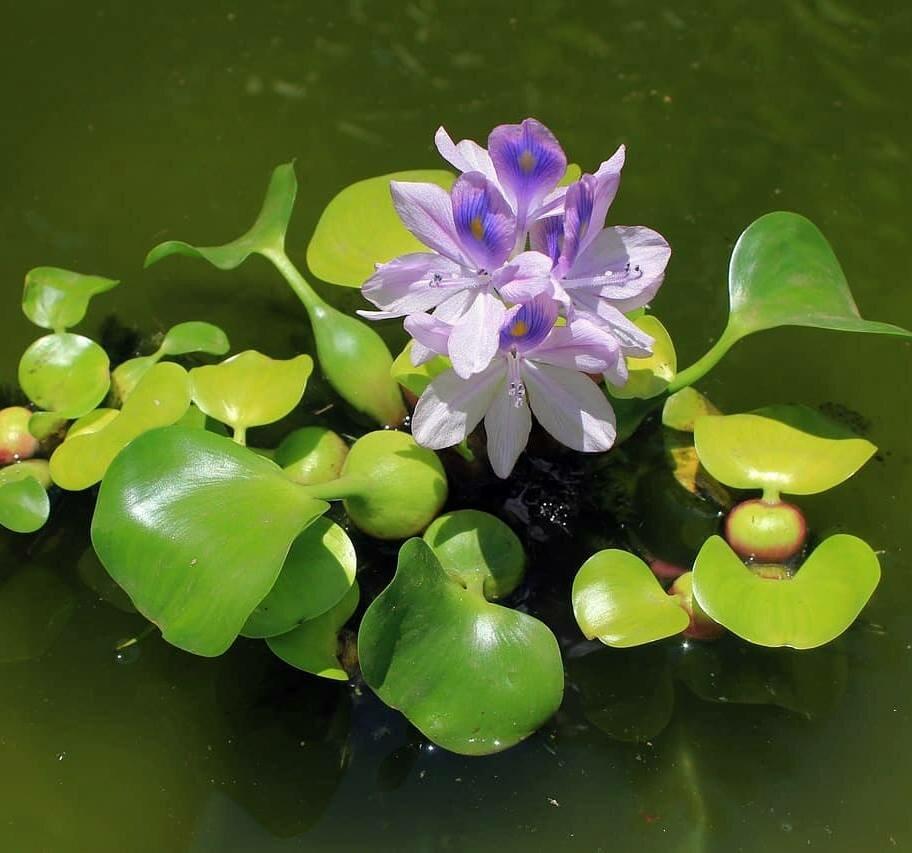 Водный гиацинт эйхорния водный салат пистия - выращивание в домашних условиях