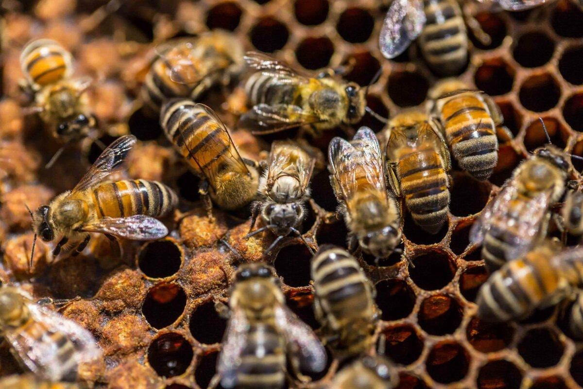 для чего пчелам нужен прополис