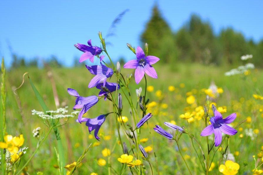 луговые и полевые цветы фото с названиями ведущая предстала