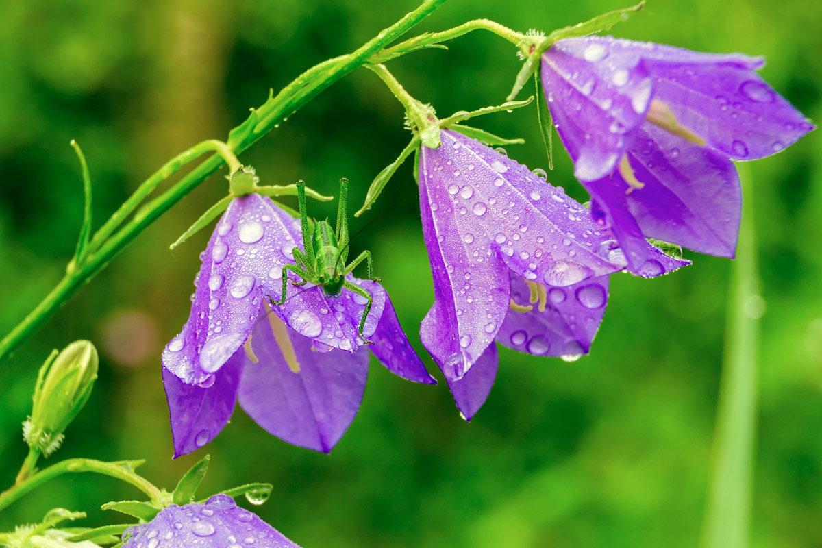 Колокольчики картинка цветок