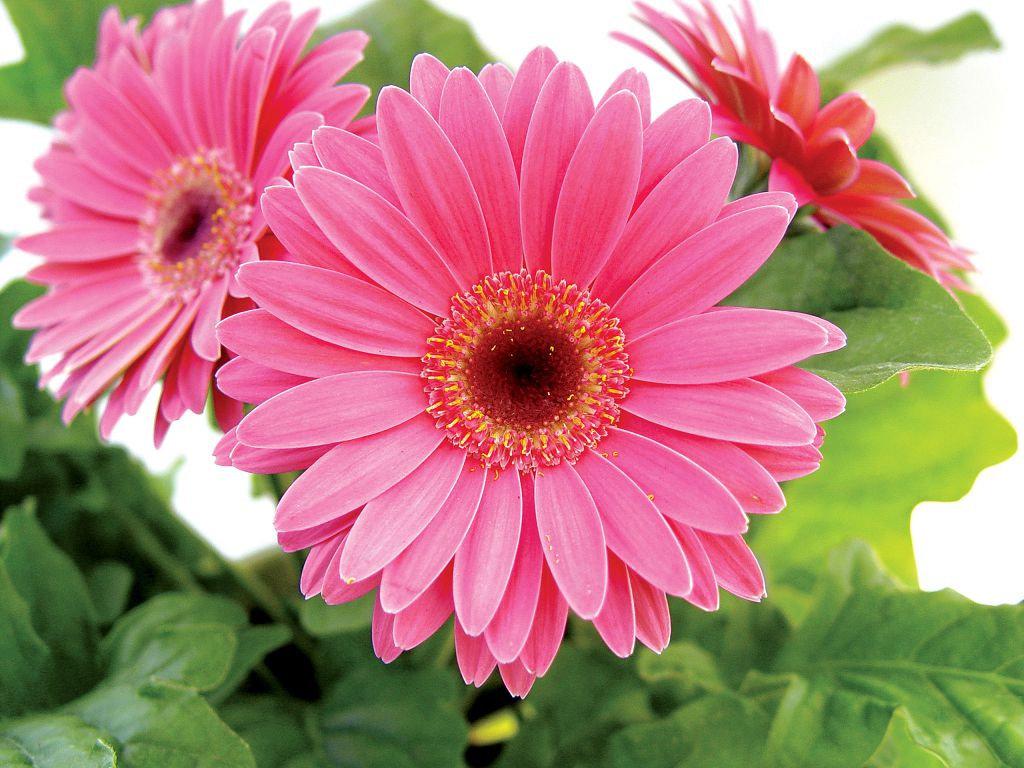 Отличного отпуска, картинки цветы герберы красивые
