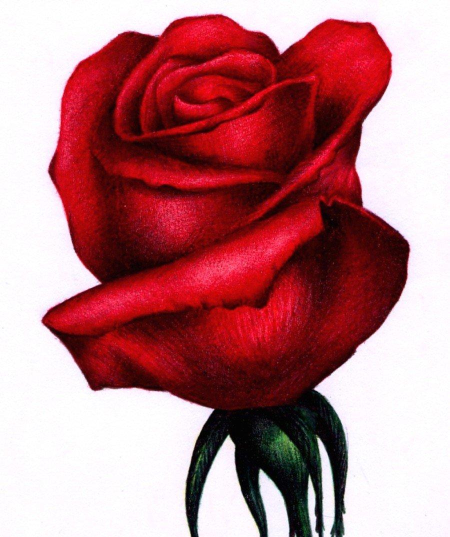 День рождения, нарисованные розы картинки