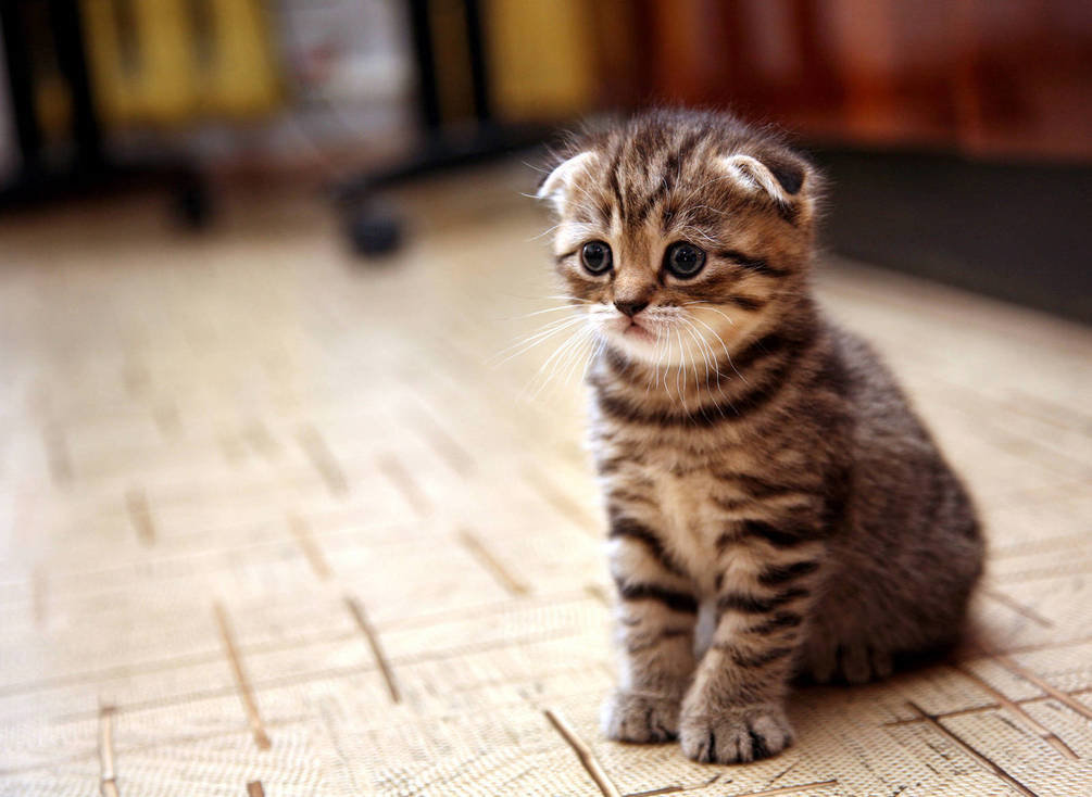 Картинки с вислоухими котятами, поздравлялки днем
