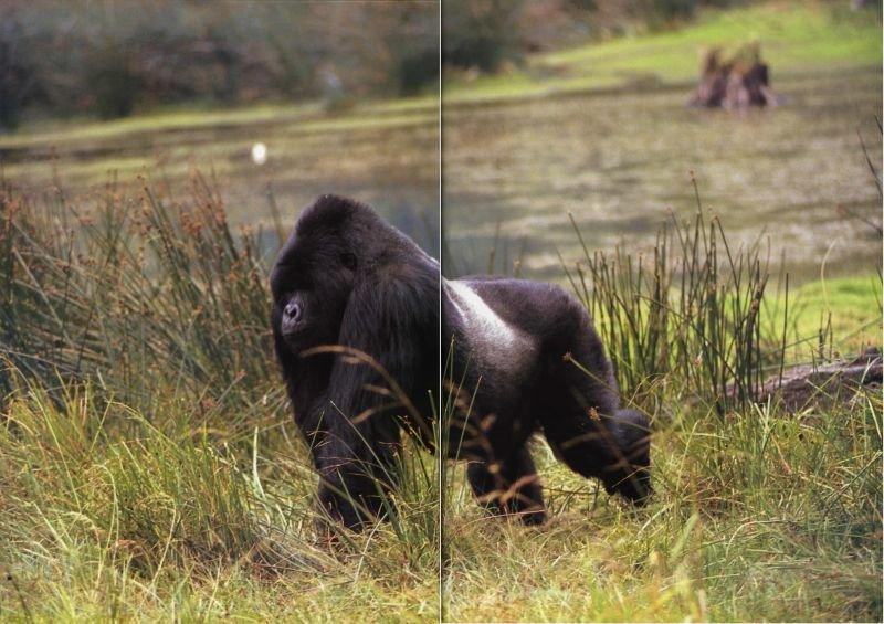 """Огромных самцов горных горилл часто называют """"серебряные спины"""", что вполне обоснованно. Этот самец с серебряной спиной — единственный взрослый самец."""