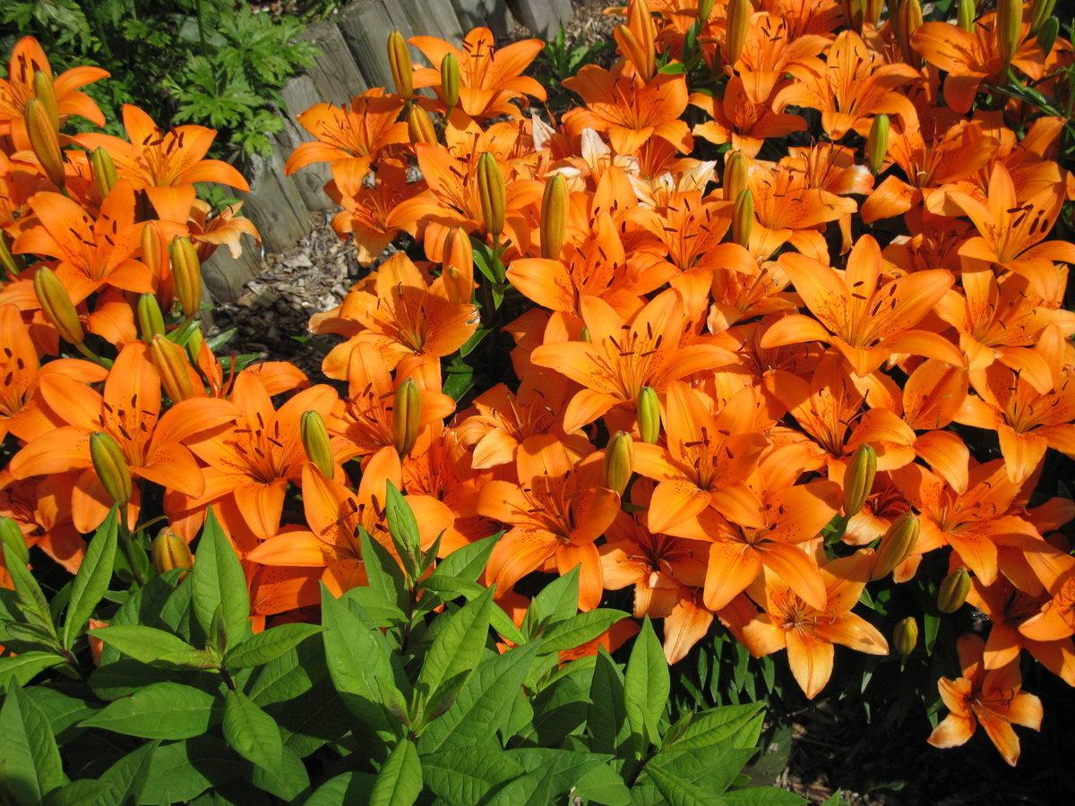 картинка букет королевская лилия цветок фото священном писании образ