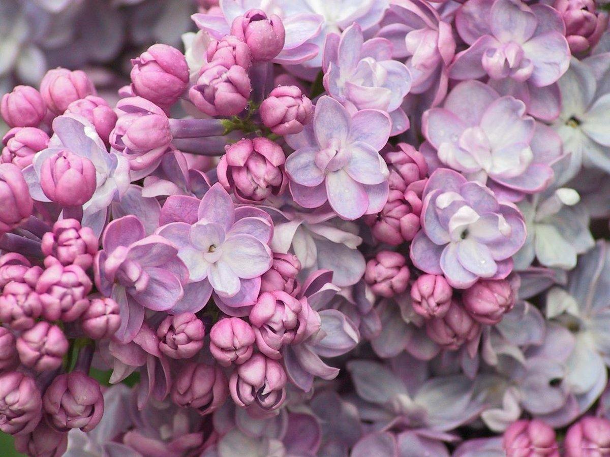 Картинки розово сиреневые цветы
