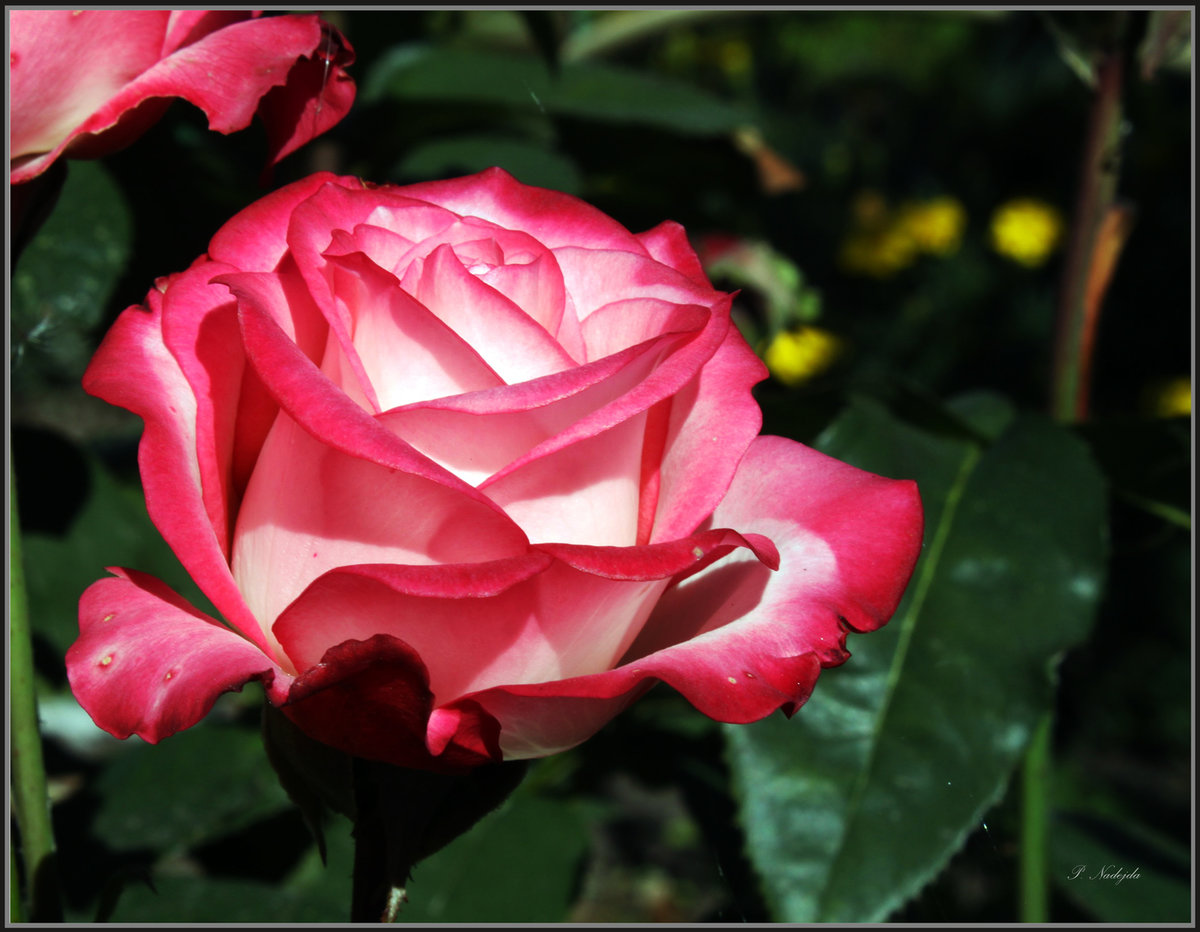 роза николь фото и описание походит схожести семян