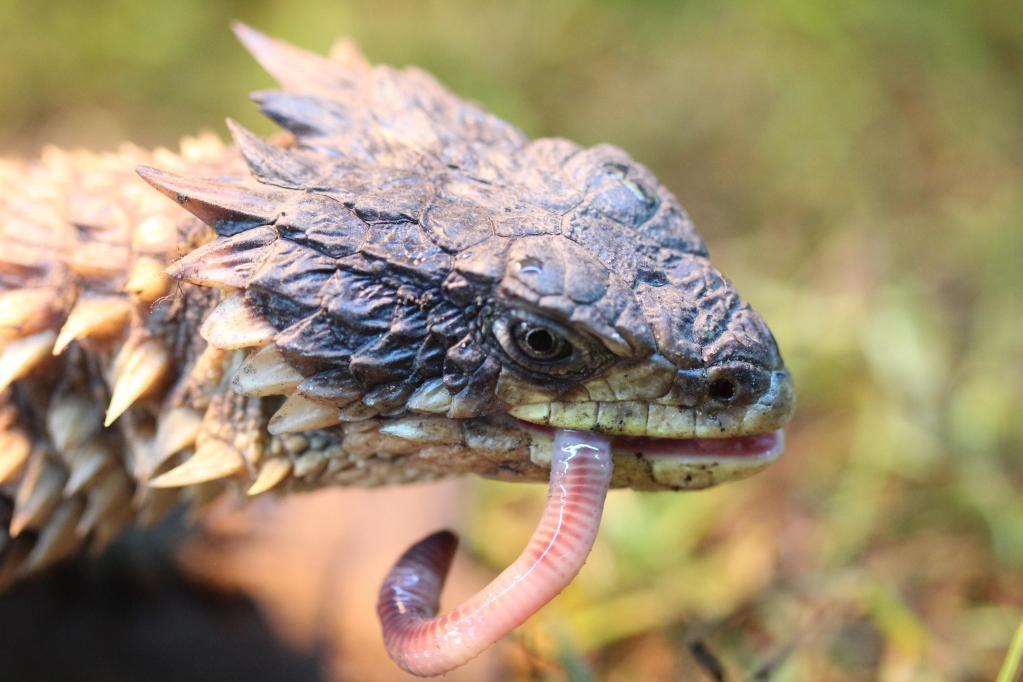 Дракон ящерица фото