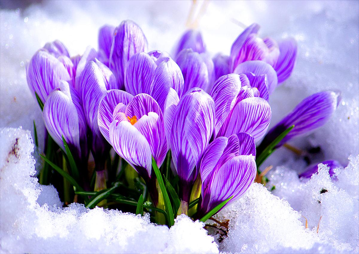 Тебя, открытки первые весенние цветы