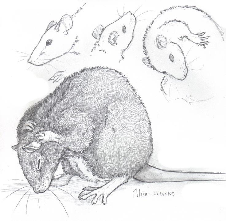 Крысы арты карандашом
