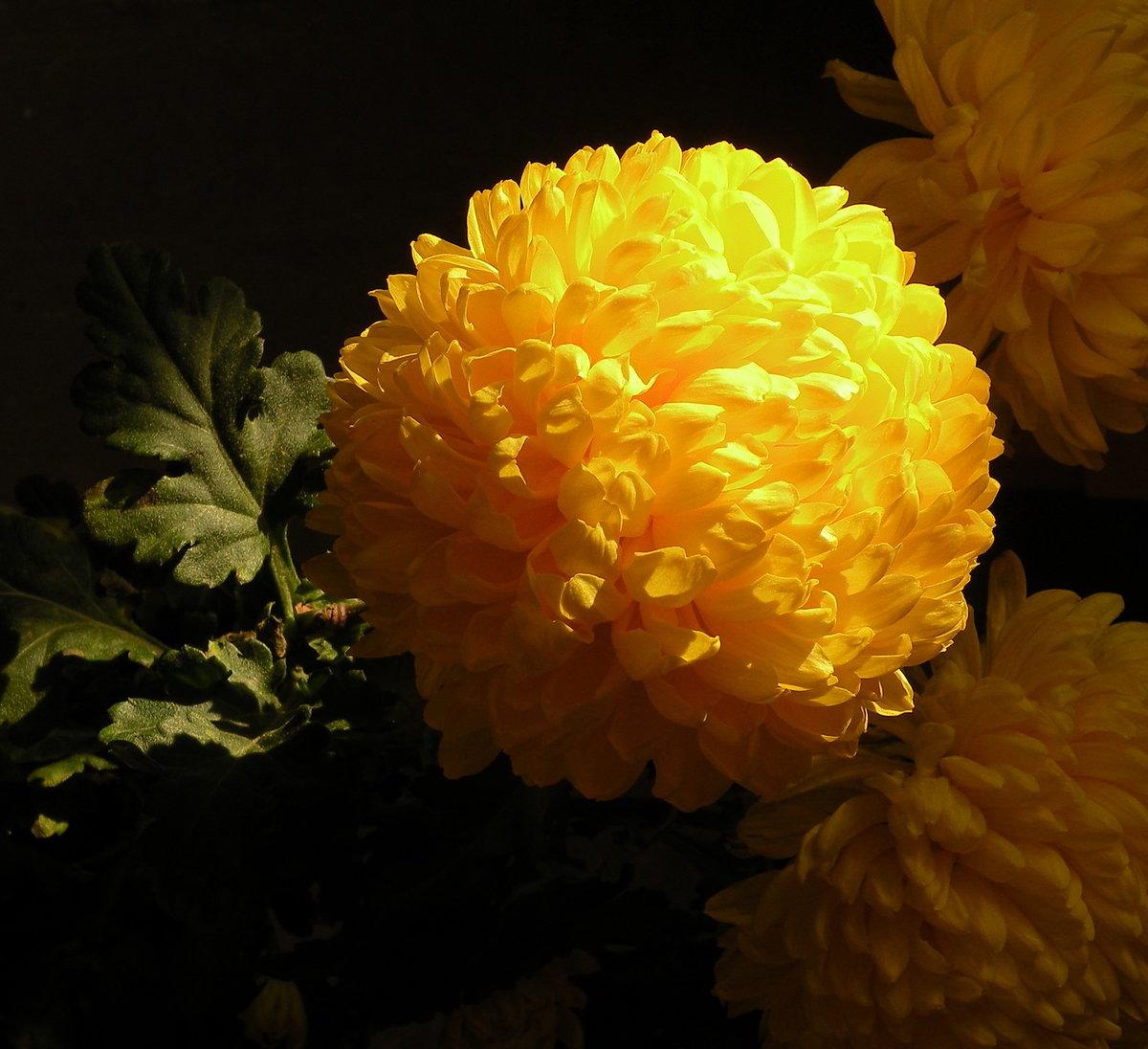 Хризантема золотой шар фото