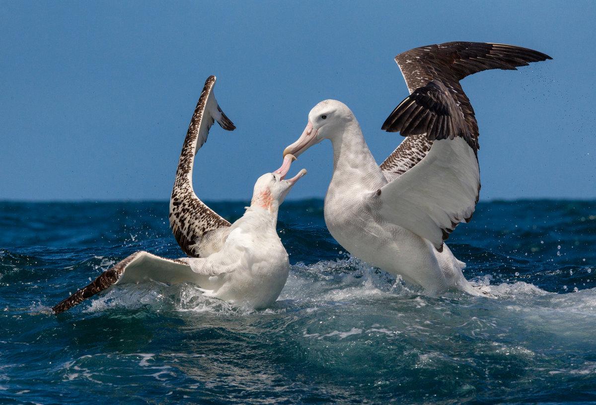 коком фото птицы альбатрос под конец