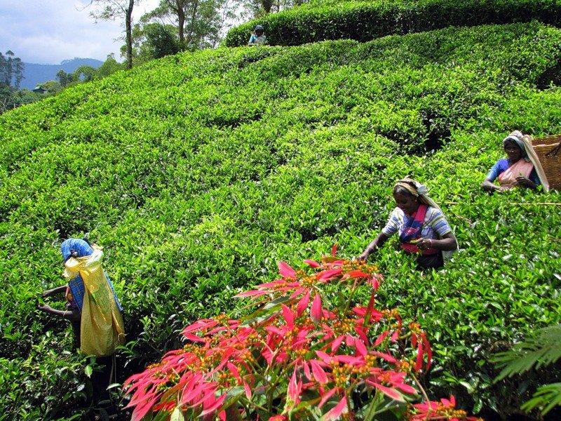 посещение настоящих чайных плантаций фото многолетняя
