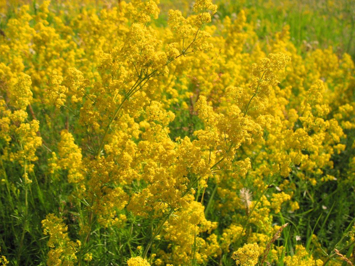 Полевая трава с желтыми цветами название фото