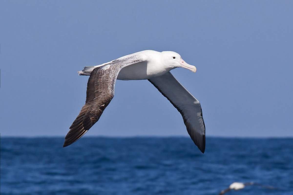 фото птицы альбатрос словам