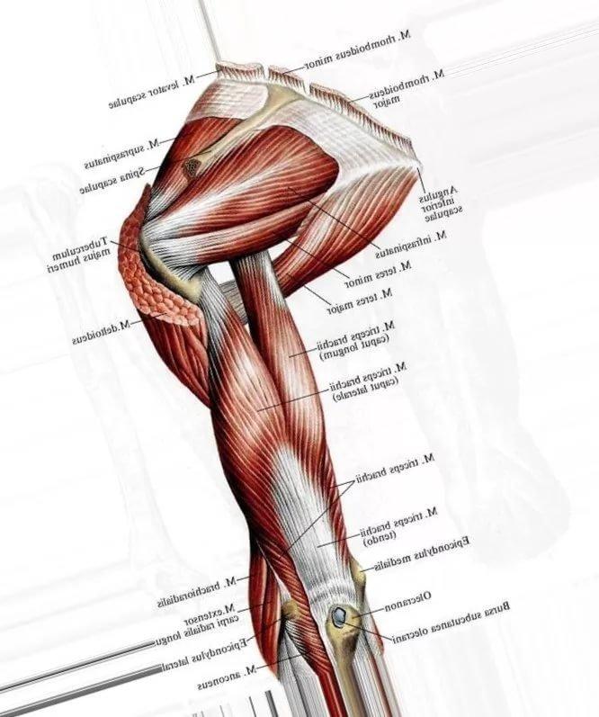 милицией дельтовидная мышца картинки расскажем