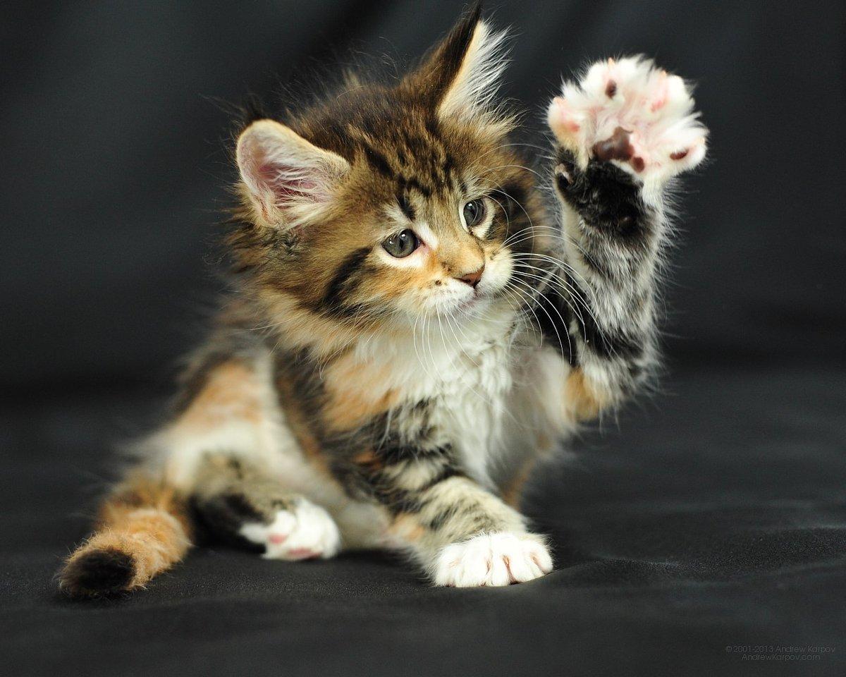 Котенок с поднятой лапкой.