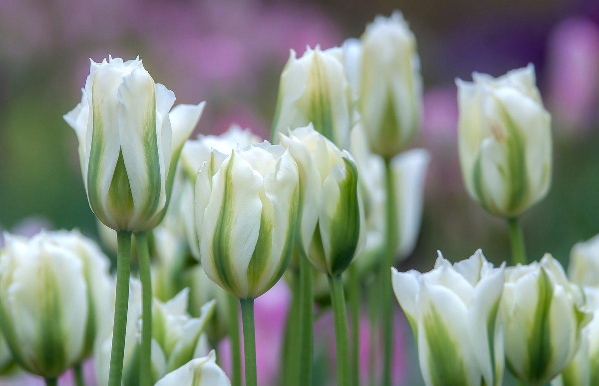 определиться, фото с белыми тюльпанами очень долгое время