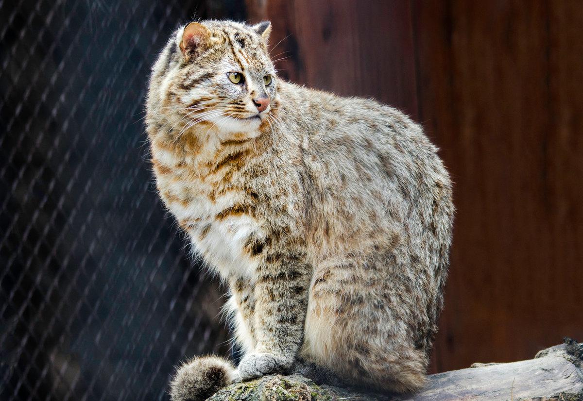 амурские кошки фото сегодня находятся