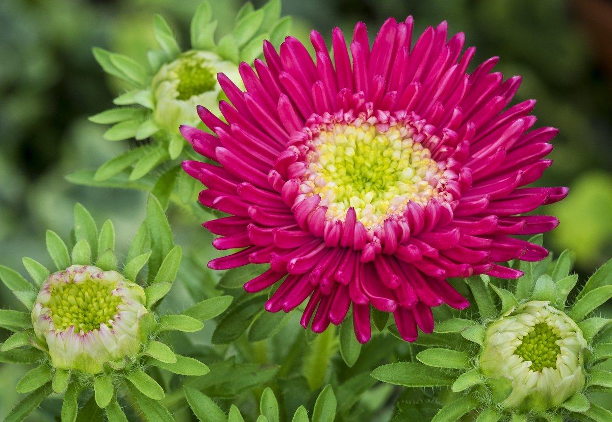 Астра цветок картинки