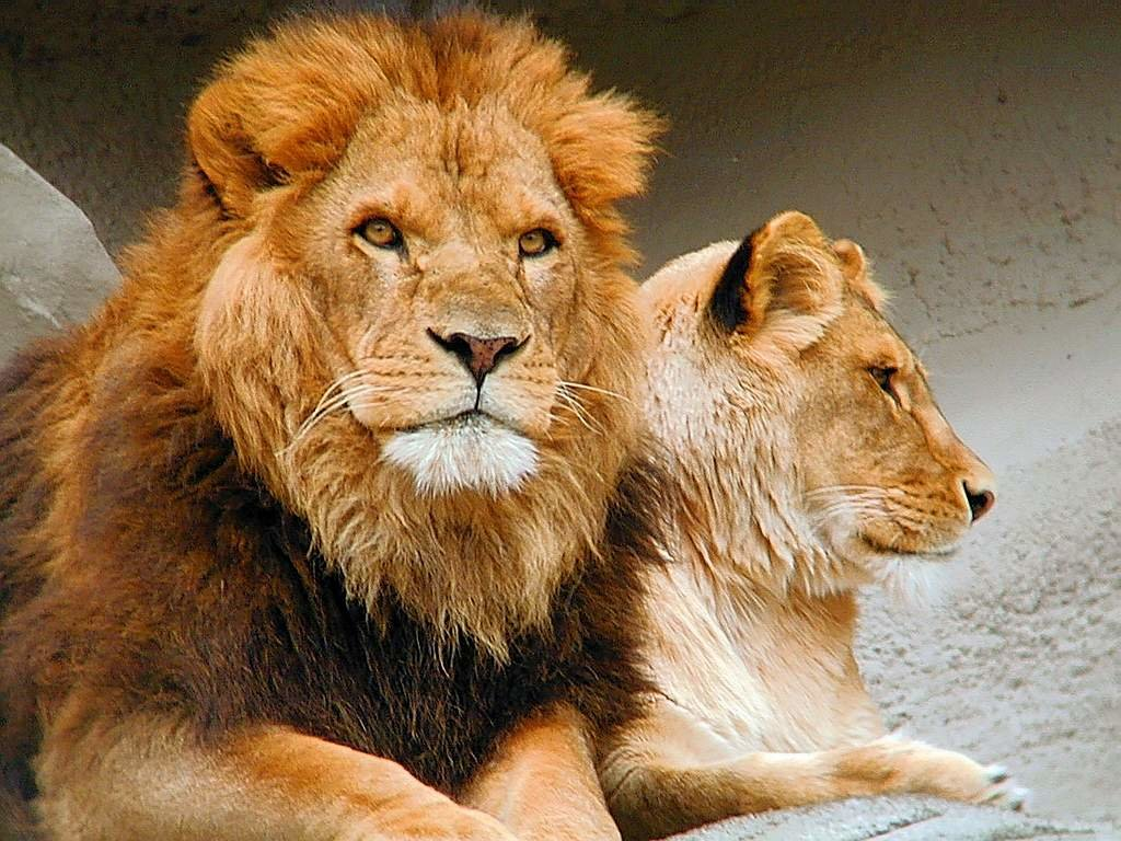 Зделать, картинки с надписью со львами